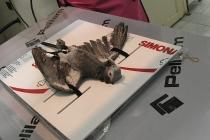 Papağan Röntgen için hazır