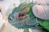 iguana0