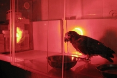 Genel durumu iyi olmayyan kuş infrared lambayla ısıtılıyor