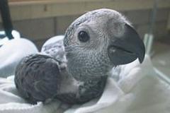 grey-parrot-baby-85baf39ca1a923314ed8f5f5b8b0cdceca2187b4