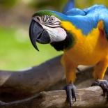 sirin-macaw